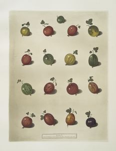16 Varieties of Gooseberries