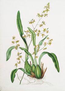 Oncidium leucochilum. [White-l... Digital ID: 1112173. New York Public Library