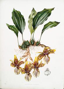 Stanhopea tigrina. [Tiger-like... Digital ID: 1112179. New York Public Library