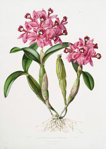 Cattleya skinneri. Digital ID: 1112185. New York Public Library
