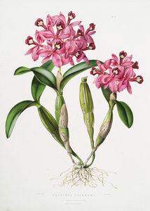 Cattleya skinneri. Digital ID: 1112185. New York Public Library