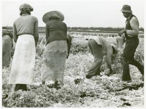 workers harvesting celery