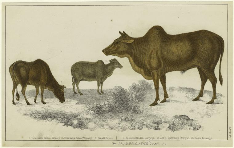 zebu from n y p l p[icture collection online