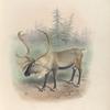 Scandinavian Reindeer.