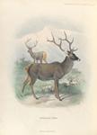 Thorold's Deer.