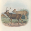 Indian Sambar., Stag and Hind.