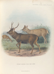 Indian Sambar., Stag and