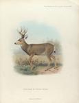 Mule-Deer in winter pelage.