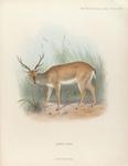 Pampas Deer.