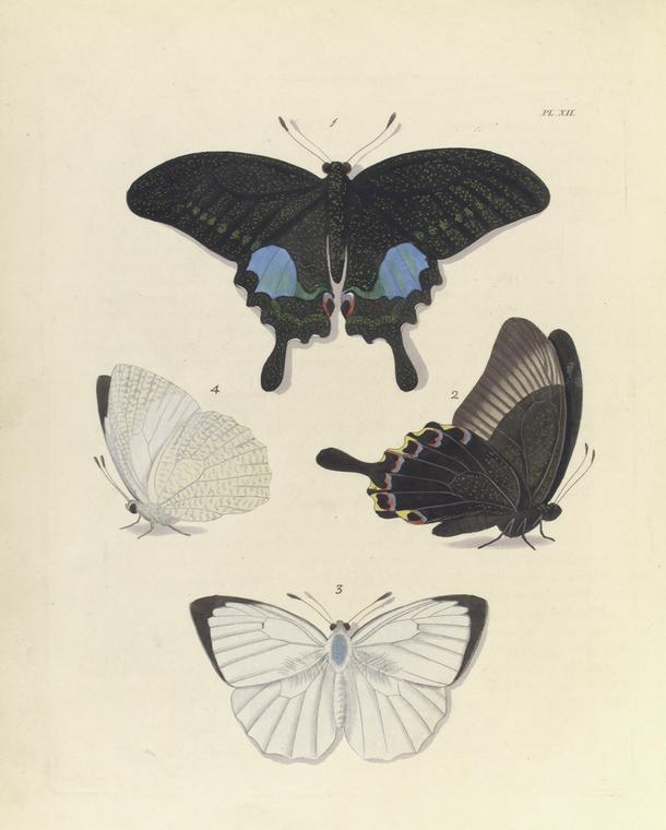 1. 2. Papilio Paris ; 3. 4. Colias (Callidryas) Pyranthe, var.?