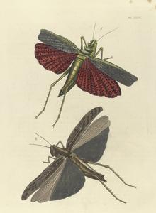 1. Locusta (Rutidoderes) Squarrosa; 2. Locusta Tartatica?