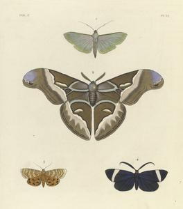 1. Botys (Desmia?) Sericea; 2. Saturnia  Cynthia; 3. Deiopeia Astrea; 4. Callimorpha? Glaucopis.
