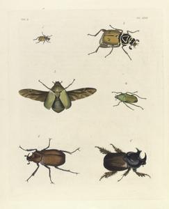 1. 2. Trichius (Archimedius) Delta ( 1. -nat. size, 2. - magnified);  3. Chasmodia? Virens; 4. Cetonia (Gnathocera) Africana;  5. Dynastes Ægeon; 6. Dynastes Geryon.