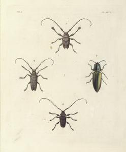1. Lamia (Polyrhaphis) Carncriformis; 2. Lamia (Monochamus) Dentator?; 3. Elater Auratus; 4. Lamia (Acanthoderes) Araneiformis.