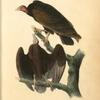 Red-headed Turkey Vulture.