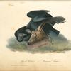 Black Vulture or Carrion Crow.