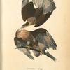 Caracara Eagle.