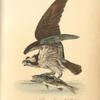 Common Osprey, Fish Hawk