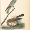 Common Harrier