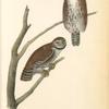 Columbian Day-Owl