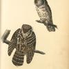 Tengmalm's Night-Owl