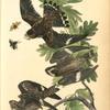 Night Hawk (White Oak. Quercus Alba.)