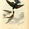 Whit-bellied Swallow