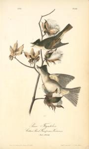 Pewee Flycatcher. 1. Male; 2. Female. (Cotton Plant. Gossypium Herbaceum).