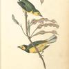 Hooded Flycatching Warbler, 1. Male 2. Female (Erithryna herbacea.)