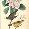 Canada Flycatcher, 1. Male 2. Female (Great Laurel. Rhododendron maximum.)