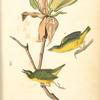 Kentucky Flycatching-Warbler, 1. Male 2. Female (Magnolia auriculata.)