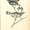 Audubon's Wood-Warbler, 1. Male 2. Young (Strawberry Tree. Euonymus Americanus)