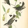 Black-poll Wood-Warbler, 1. Males 2. Female (Black Gum Tree. Nyssa aquatica.)