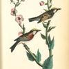 Chestnut-sided Wood-Warbler, 1. Male 2. Female (Moth Mullein: Verbascum Blattaria.)