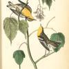 Hemlock Warbler, 1. Male 2. Female (Dwarf Maple. Acer spicatum.)