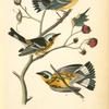 Black-and-yellow Wood-Warbler, 1. Male 2. Female 3. Young (Flowering Raspberry. Rubus odoratus.)