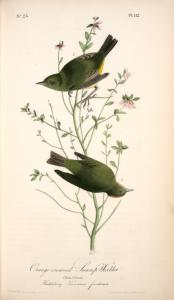 Orange-crowned Swamp-Warbler. 1. Male. 2. Female. (Huckleberry. Vaccinium frondosum.)