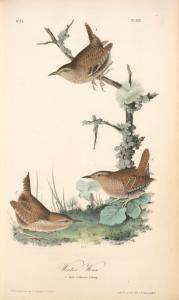 Winter Wren. 1. Male. 2. Female. 3. Young.