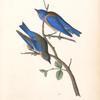 Western Blue Bird, 1. Male 2. Female
