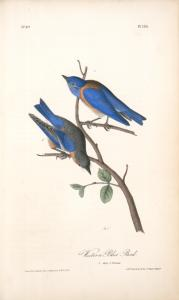 Western Blue Bird. 1. Male. 2. Female.