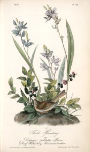 Field Bunting. Male. (Calopogon pulchellus. Brown. Dwarf Huckle-berry. Vaccinium tenellum.)