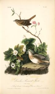 Lincoln's Pinewood Finch. 1. Male. 2. Female. (1. Dwarf Cornel. 2. Cloudberry. 3. Glaucous Kalmia.)