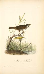 Brown Finch. Female.