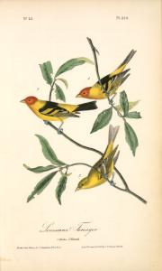 Louisiana Tanager. 1. Males. 2. Female.