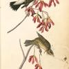 Wandering Rice-bird, 1. Male 2. Female (Red Maple. Acer Rubrum.)