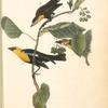 Saffron-headed Marsh-Blackbird, 1. Male 2. Female 3. Young Male