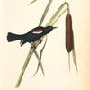 Red-and-white-shouldered Marsh-Blackbird, Male