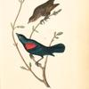 Red-and-black-shouldered Marsh-Blackbird, 1. Male 2. Female