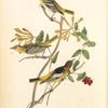 Bullock's Troopial, 1. Male adult 2. Young Male 3. Female (Caprifolium flavum.)