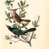 Boat-tailed Grackle, 1. Male 2. Female (Live Oak. [Quercus virens])